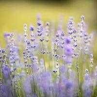 Lavendel - natürliches Schlafmittel