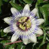 Passionsblume - natürliches Schlafmittel